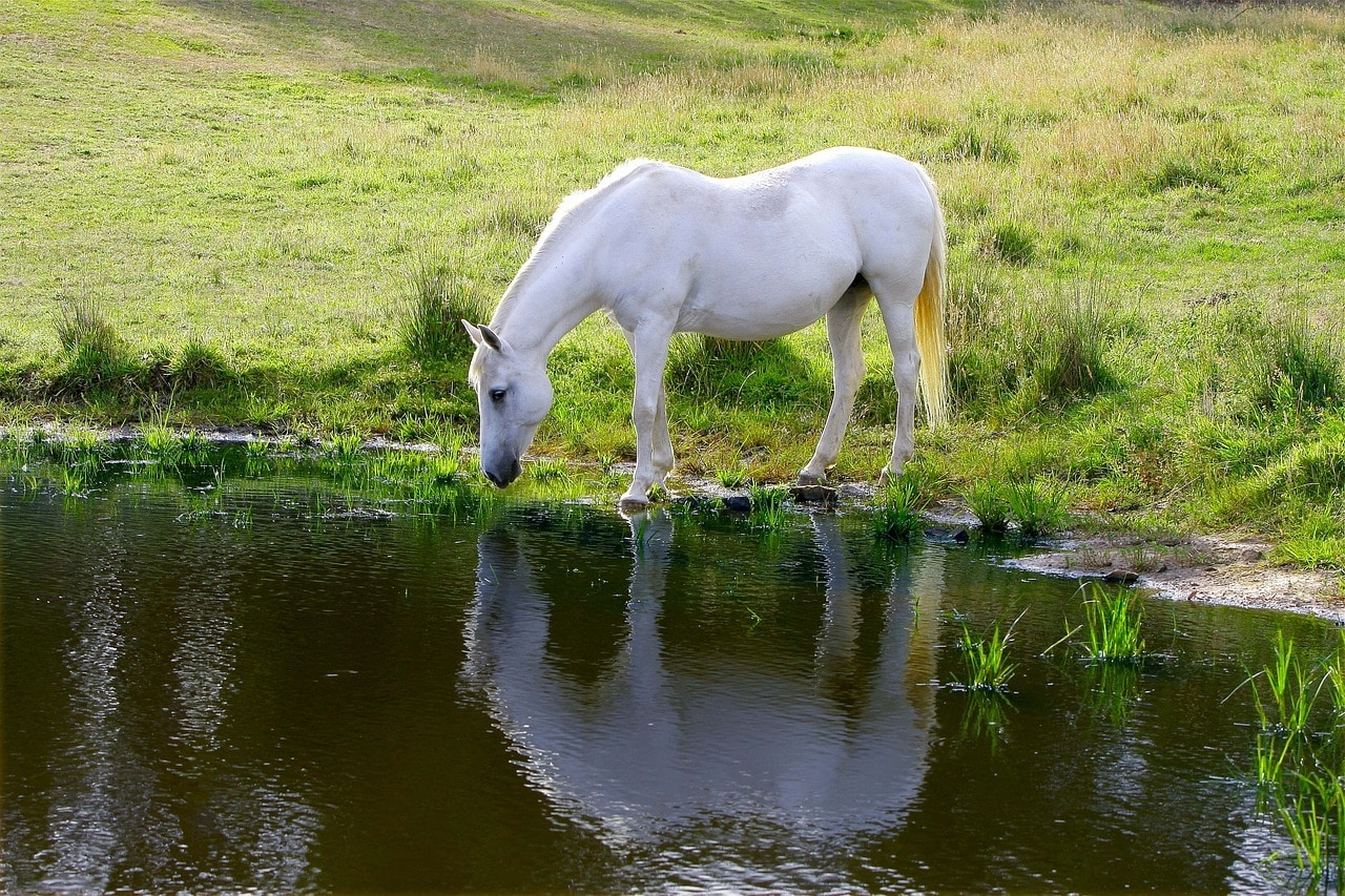 pony in the pond