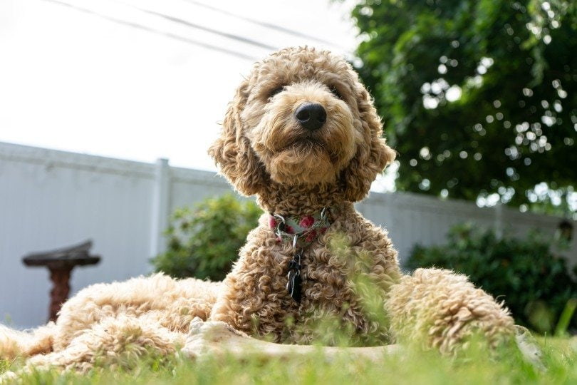 poodle-lying-on-grass