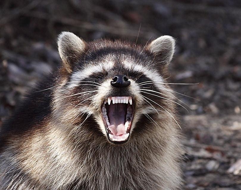 raccoon lV