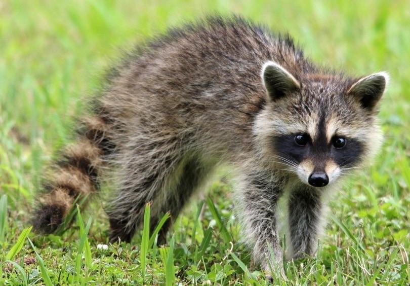 raccoon ll