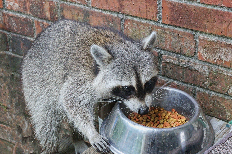 racoon eating cat food