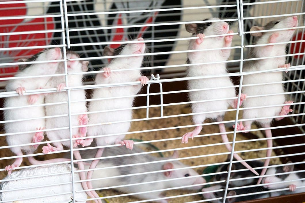 rats climbing in the cage