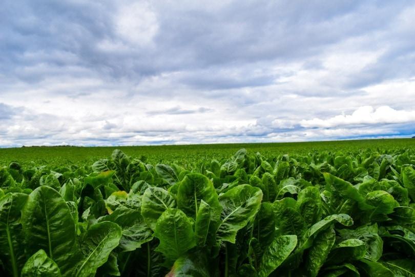romaine lettuce_Hundankbar_Pixabay