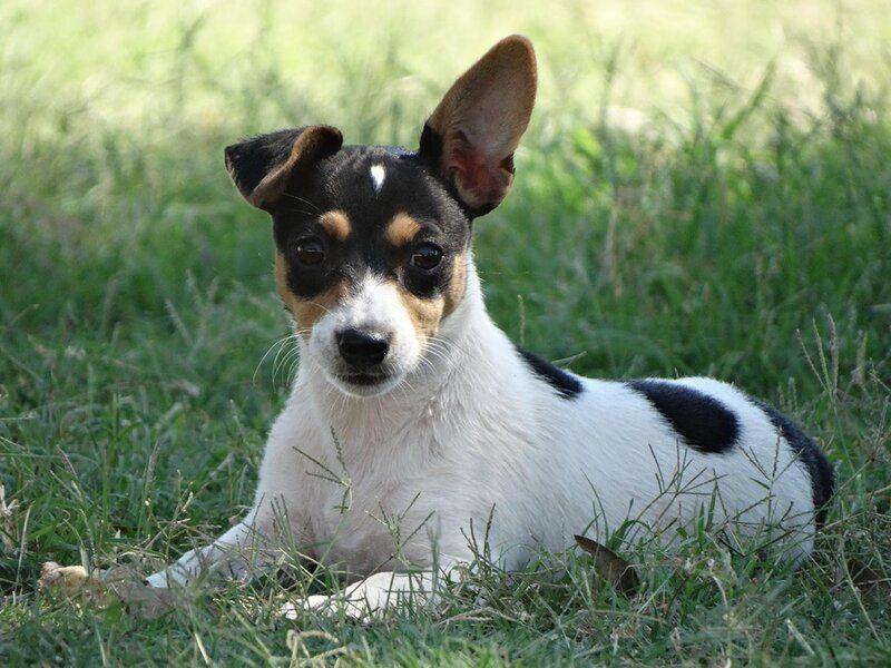 miniature fox terrier