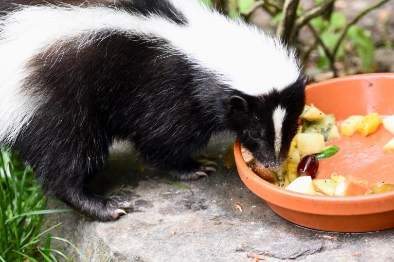 skunk eating_Delovely Pics_ Shutterstock