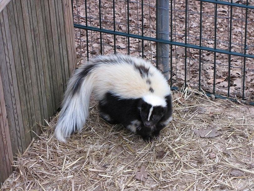 skunk in cage