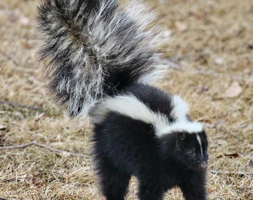 skunk ll