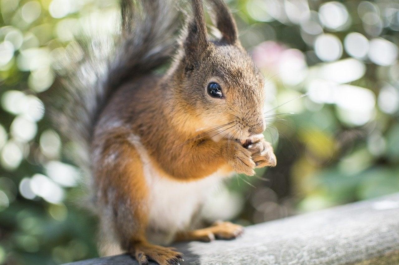 squirrel outdoor