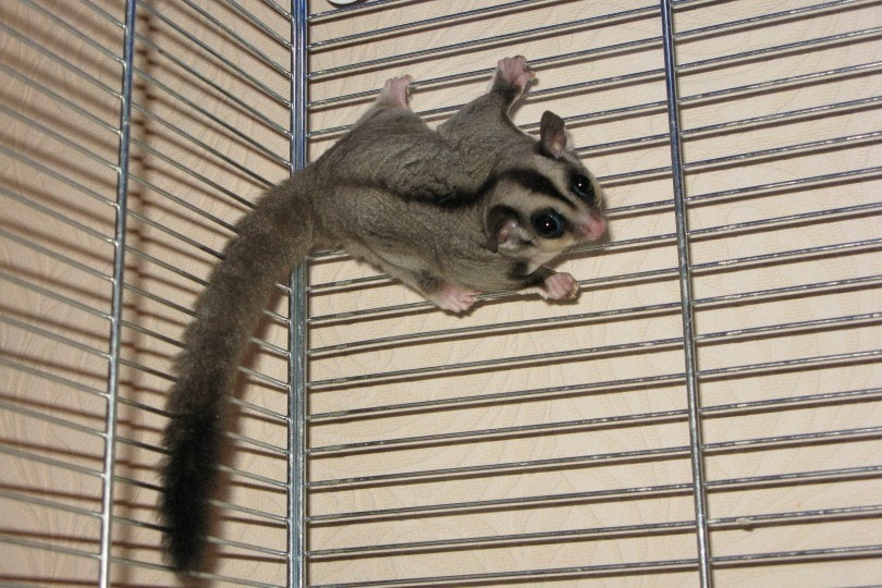 sugar glider clinging onto the cage