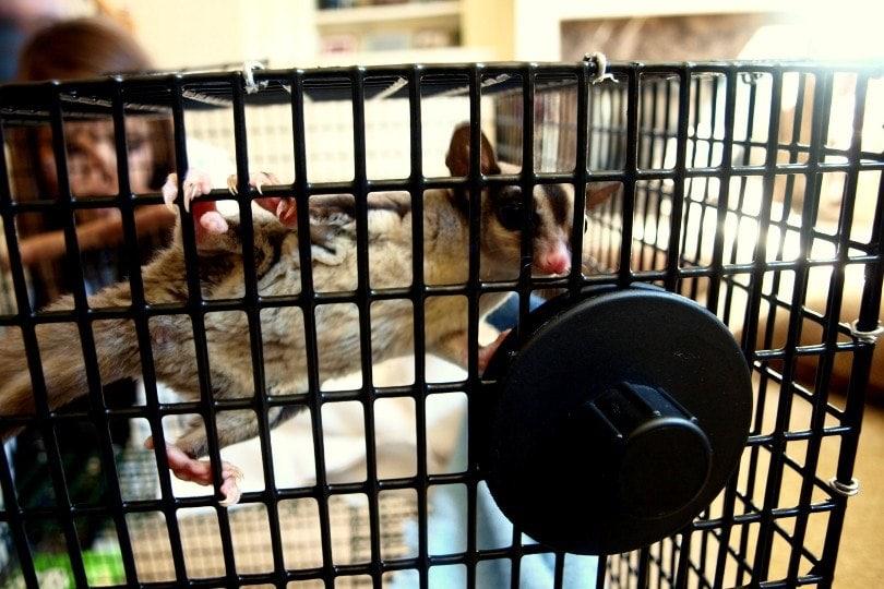 sugar glider in a cage