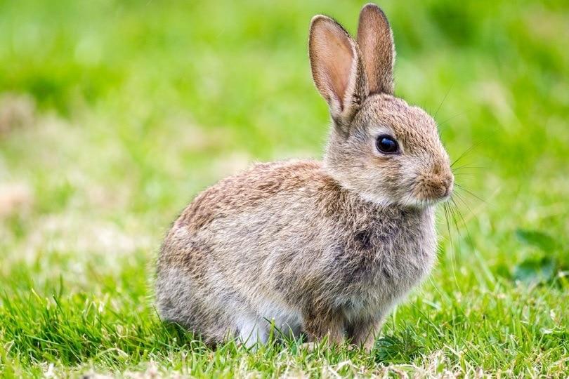 sussex-rabbit_Alan-Fraser-Images_shutterstock