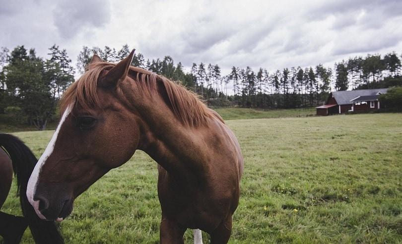 swedish horse-pixabay