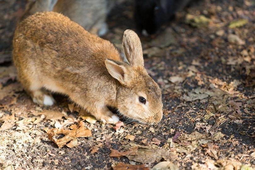 swiss-fox-japanese-rabbit_BlackRabbit3_shutterstock