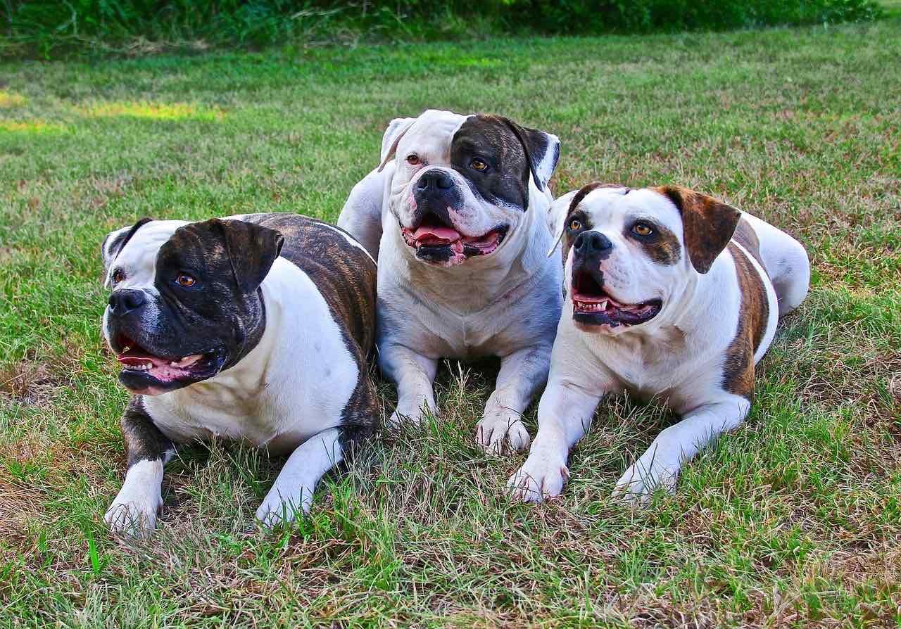 three american bulldogs on grass