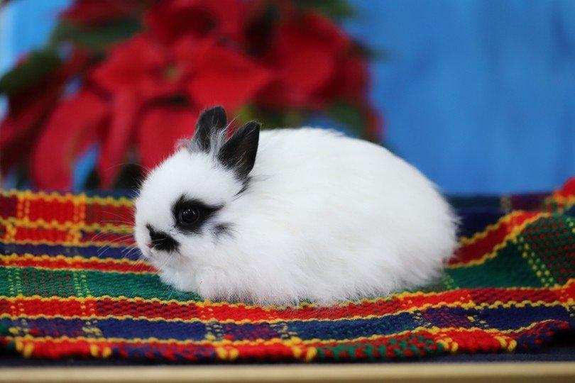 tiny jersey wooly rabbit