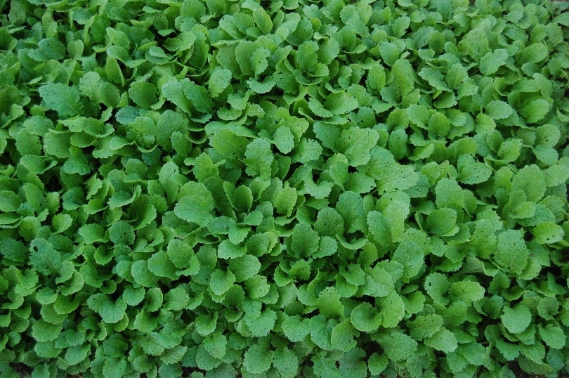 turnip-greens_jjcsjoao_Pixabay