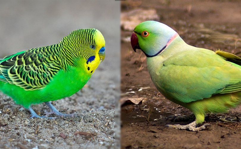 visual difference of budgie and parakeet