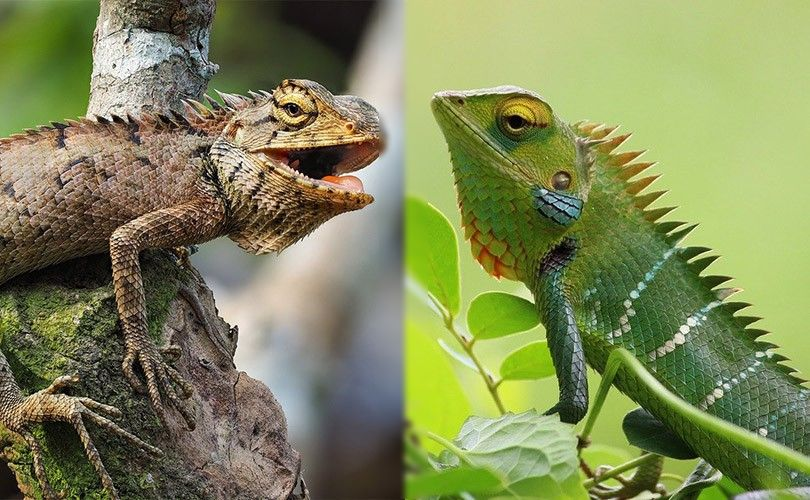 visual-difference-of-iguana-and-chameleon_censored