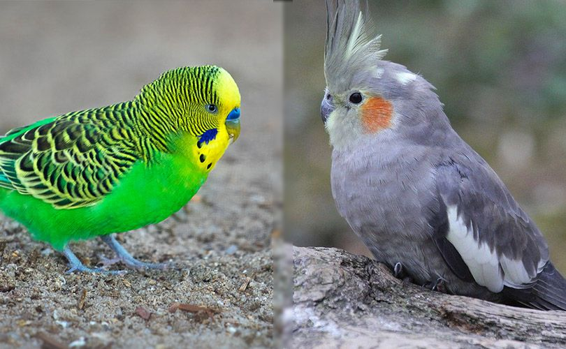 visual differences of budgie and cockatiel