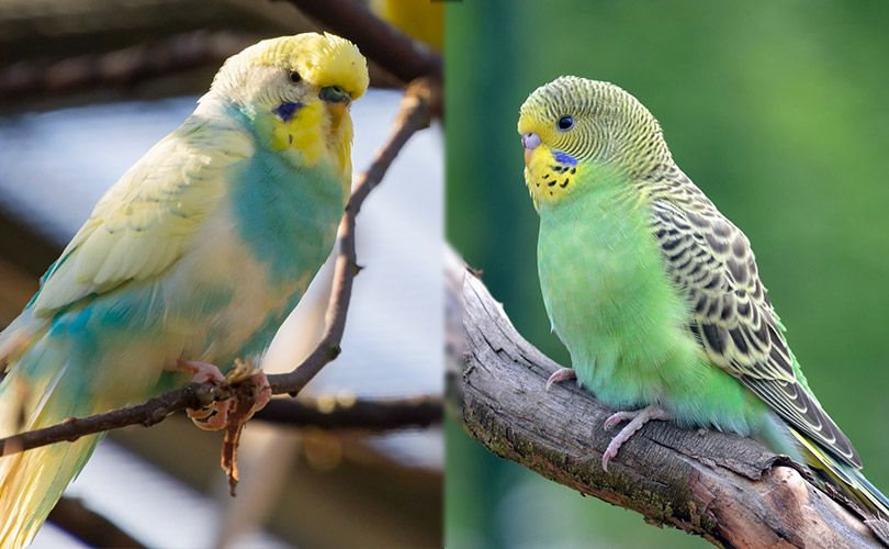 visual differences of english budgie and american budgie