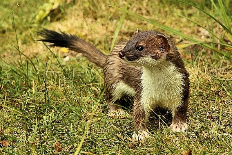 A Stoat
