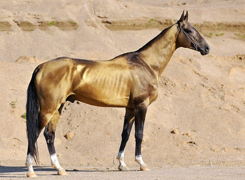Akhal Teke Horse on the desert