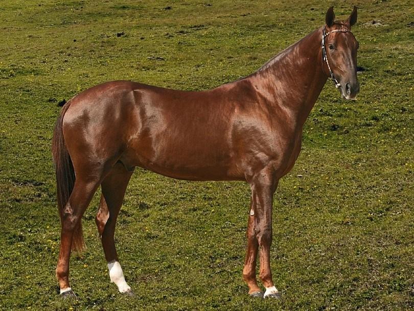 Akhal Teke Horse on the field