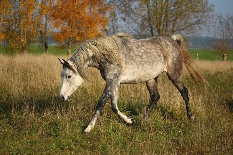 Arabian horse_rihaij, Pixabay