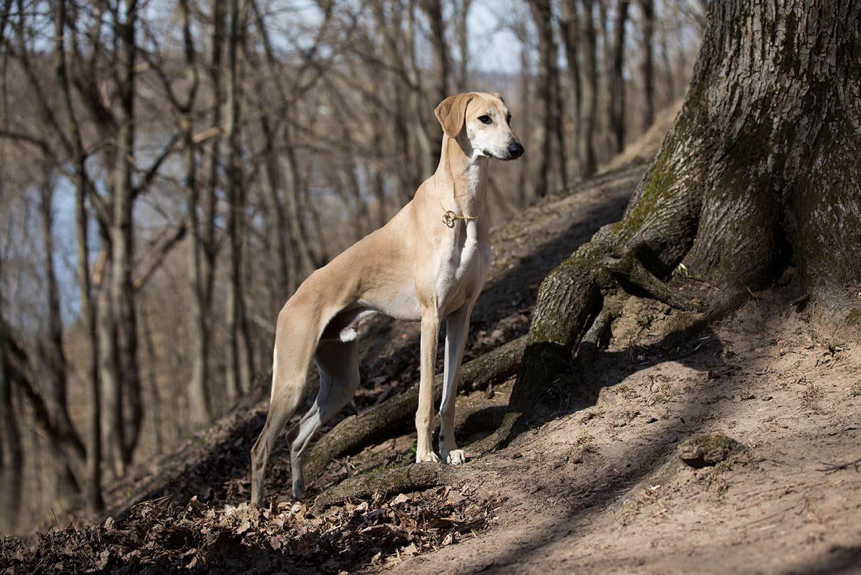 Arabic Greyhound
