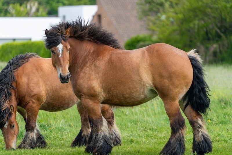 Ardennes,Horses_Kevin Carvalho, Shutterstock