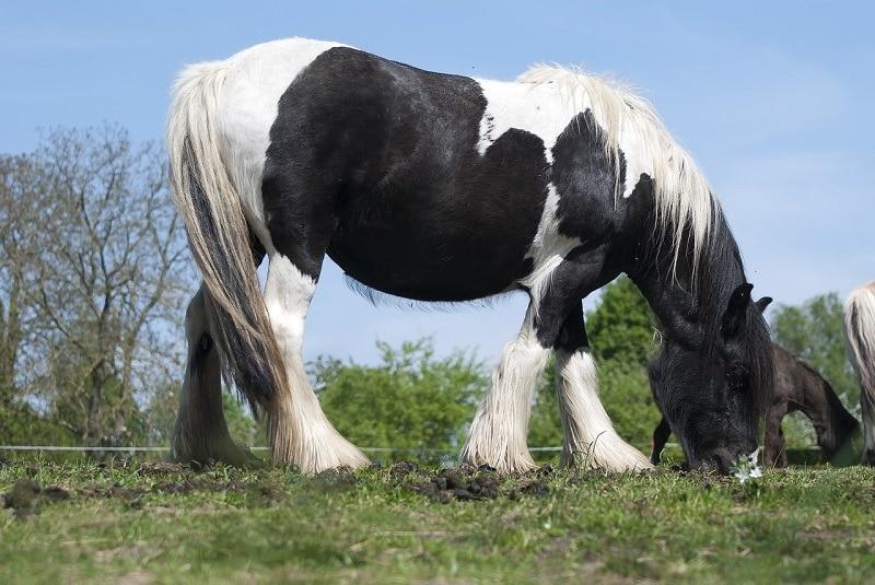 Draft Horse_dendoktoor, Pixabay