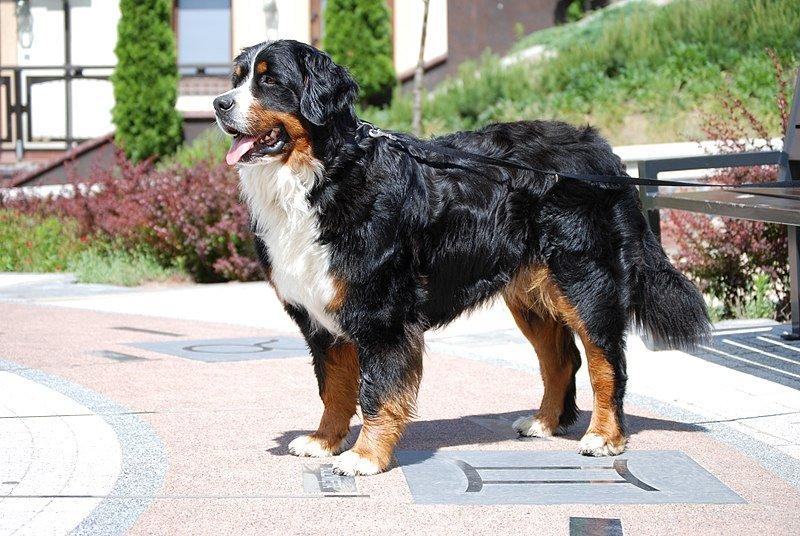 Bernese Mountain Dog_AnetaAp, Wikimedia