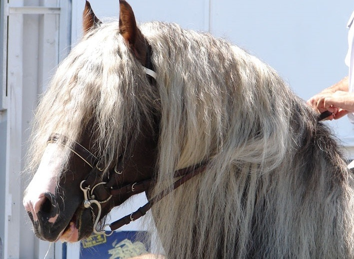 Black Forest Horse close up