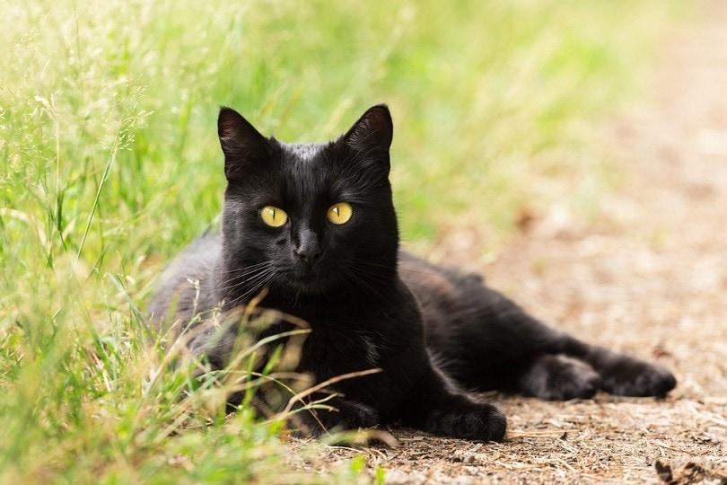 Bombay-black-cat-portrait_Viktor-Sergeevich_shutterstock