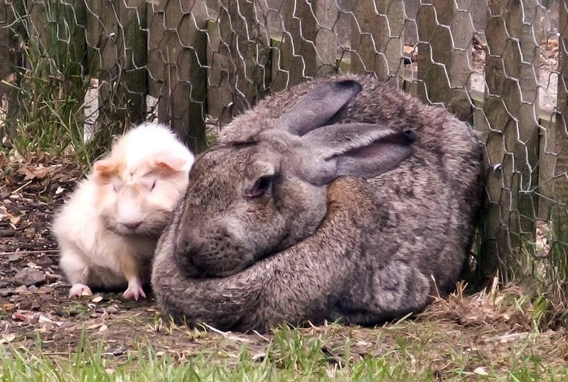 British Giant Rabbit & Guinea Pig