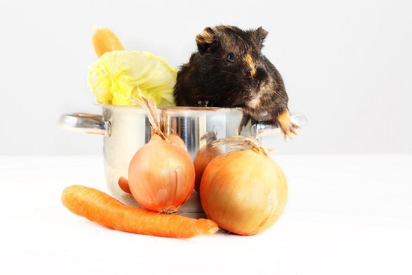Brown-guinea-pig-in-kitchen-pot_Doczky_shutterstock