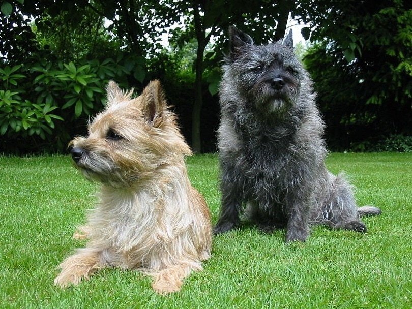 Cairn-Terrier_MU_Wikimedia