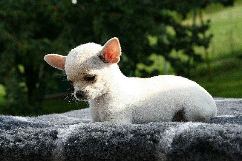 Chihuahua puppy_Manuela Federspiel, Pixabay