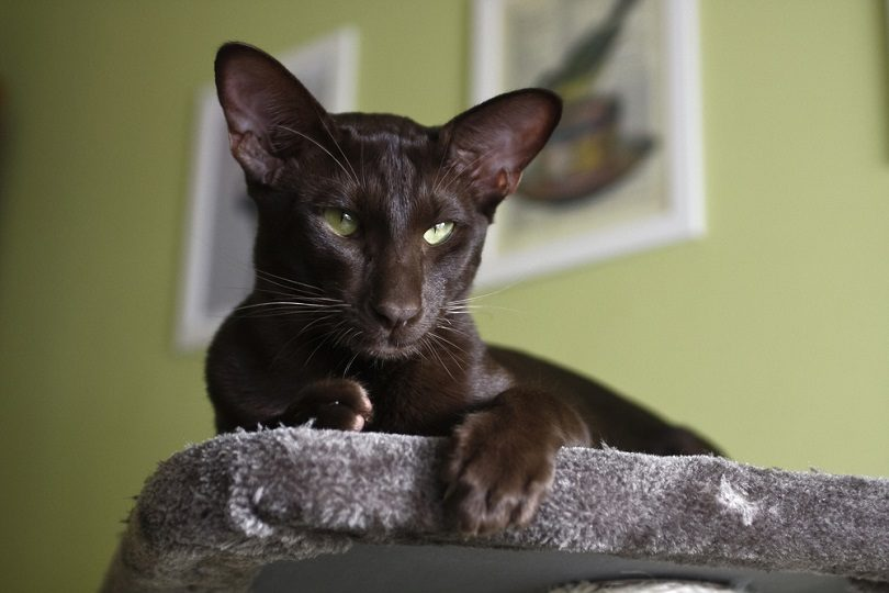 Domestic cat - oriental shorthair