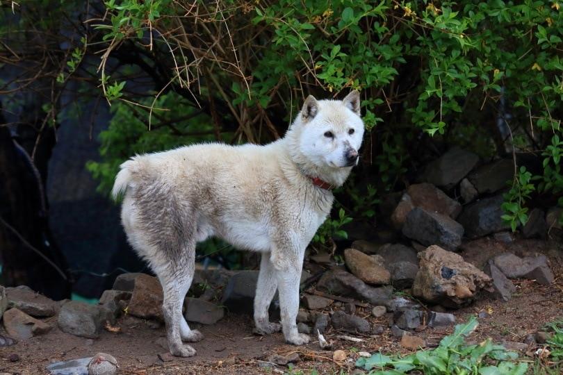 Donggyeongi dog_KoreaKHW_Shutterstock