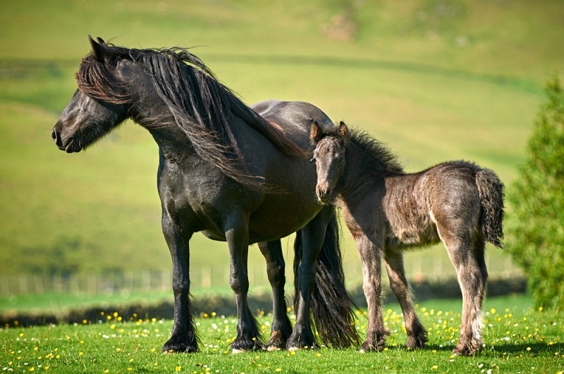 Fell Pony mare with foal_Shutterstock_Nicole Ciscato