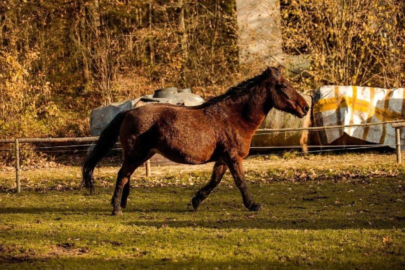 Fjord horse walking
