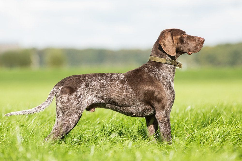 German-Shorthaired-Pointer-pointing