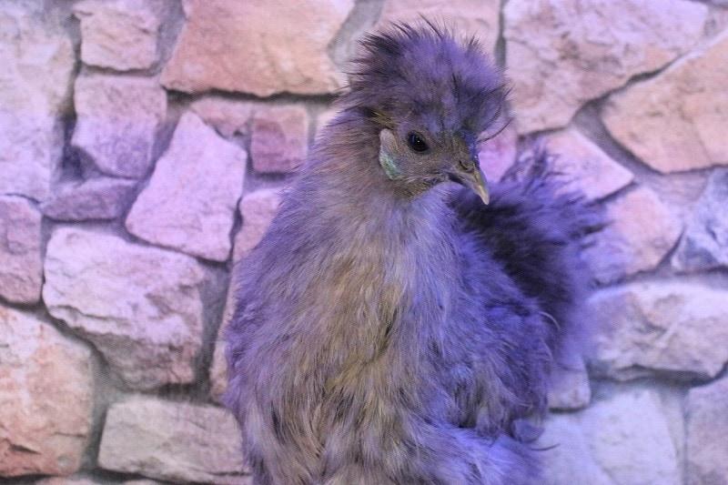 Grey Silkie Chicken