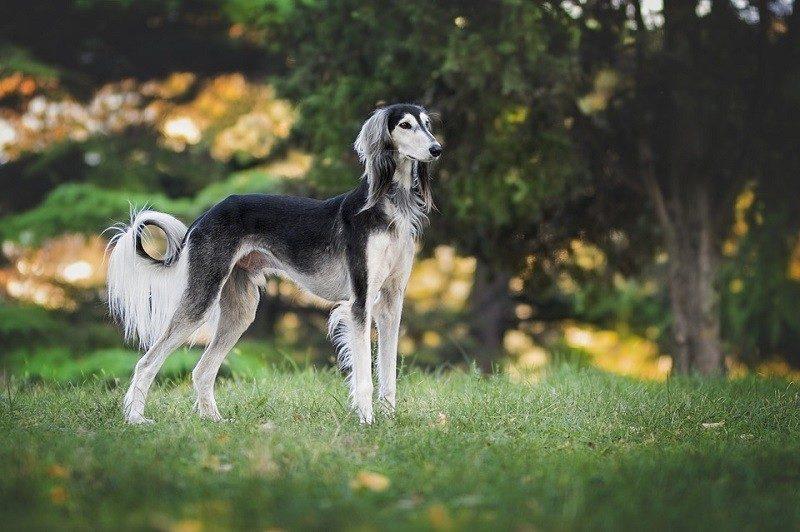 Greyhound_elisabettabellomi, Pixabay