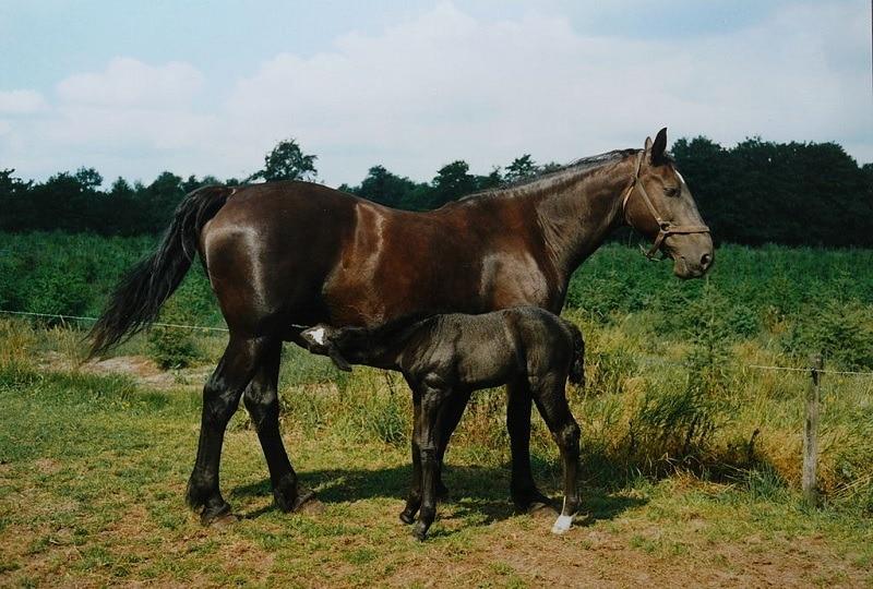 Groningen horse
