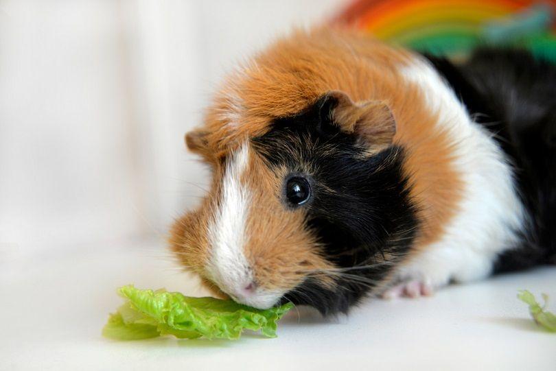 Guinea-pig-eating-lettuce_Olga-Pedan_shutterstock