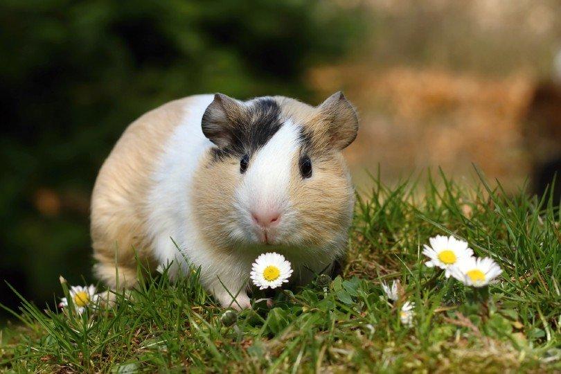 Guinea pig_Miroslav Hlavko_Shutterstock