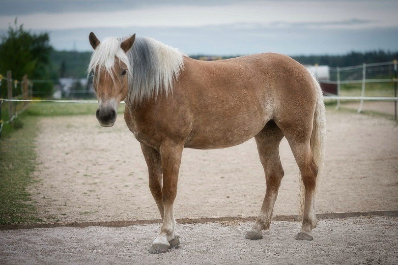 Haflinger horse in the field