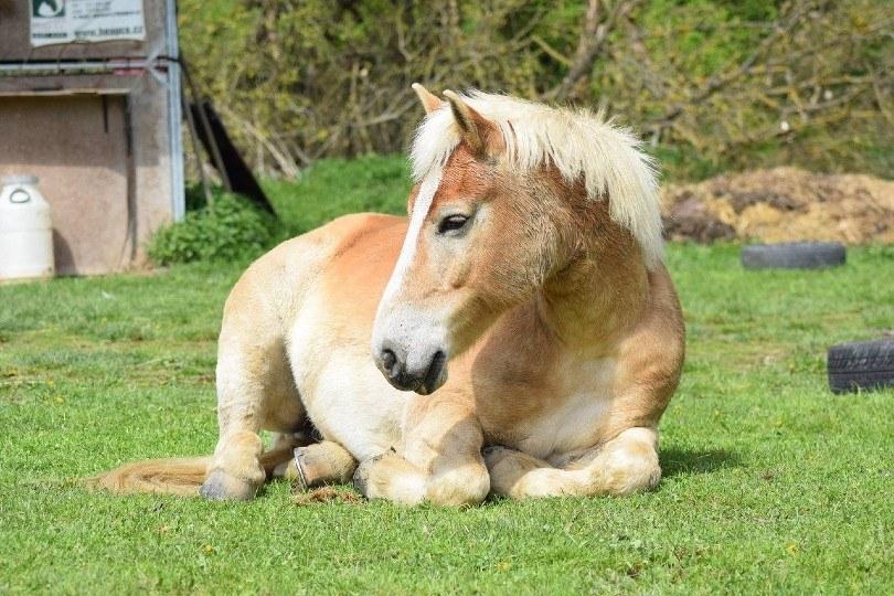 Haflinger horse lying on the grass